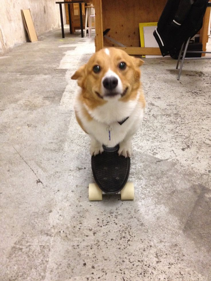 The 21 Most Ridiculous Corgi Pictures Ever