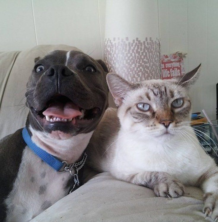funny pit bull and cat