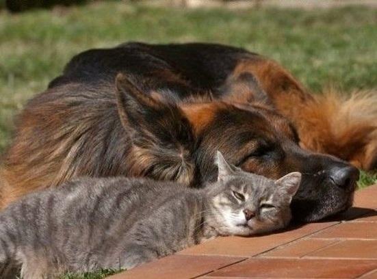 german shepherd cat