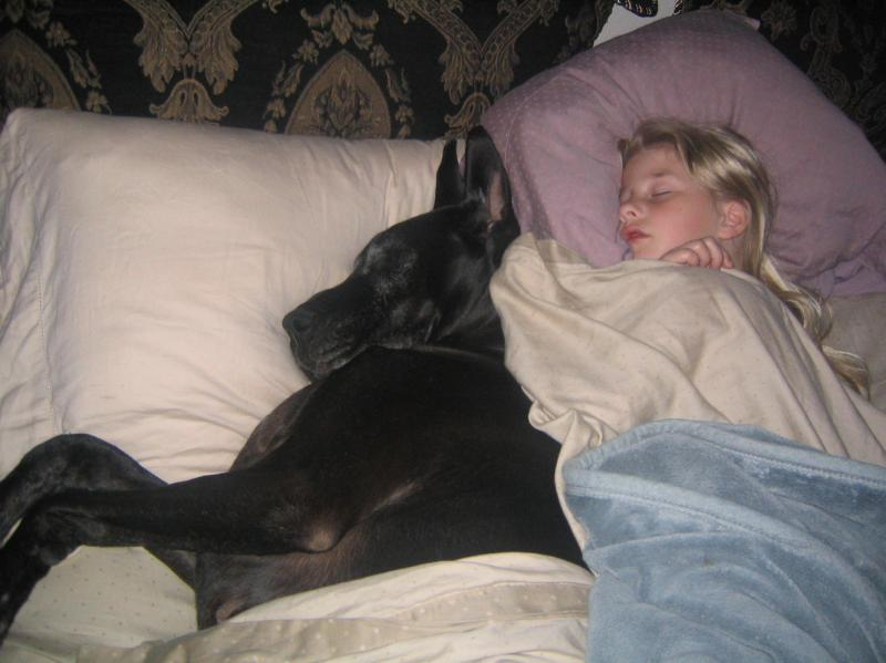 great dane in bed