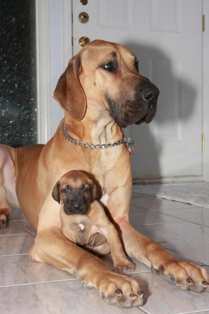 great dane mother and puppy