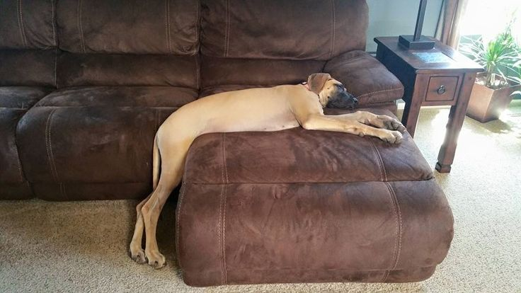 The 10 Most Awkward Great Dane Sleeping Positions