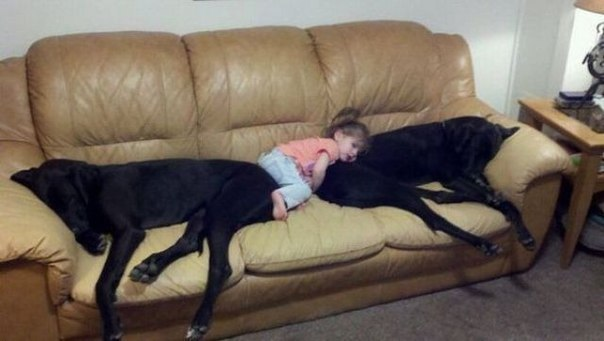 great danes and child