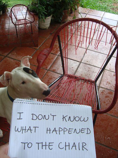 guilty bull terrier dog
