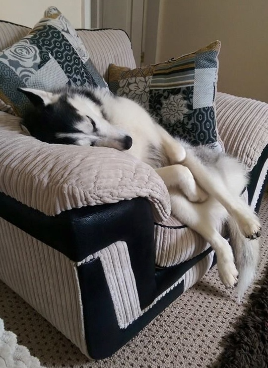 husky sleeping cute