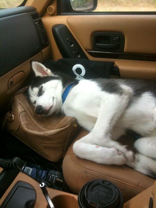 husky sleeping in car