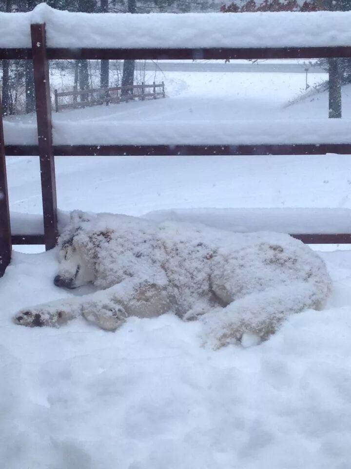 husky sleeping in snow
