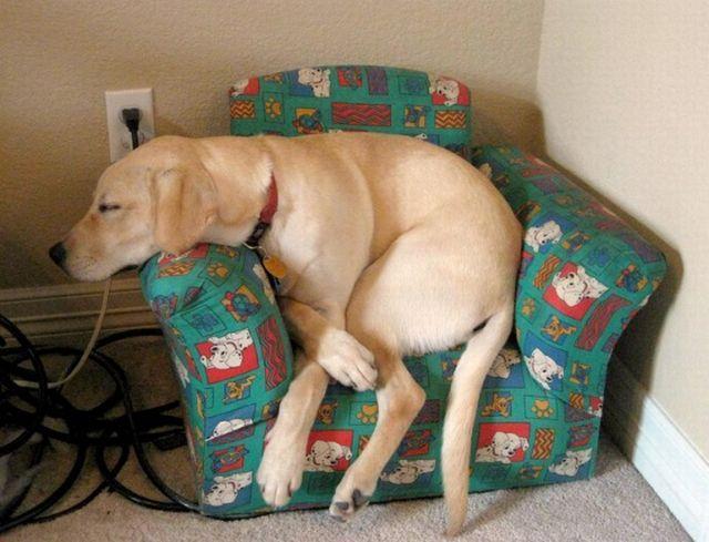 labrador sleeps on chair