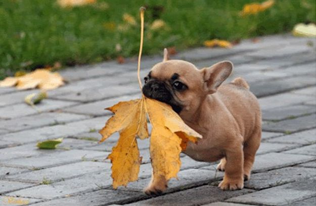 leaf french bulldog