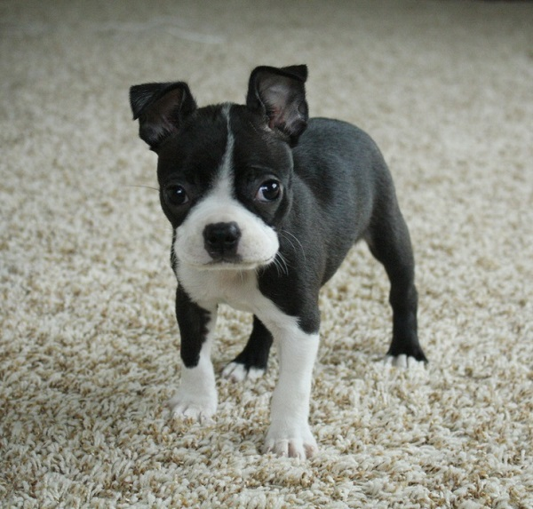 boston terrier dog names 10 best boston terrier dog names 7916