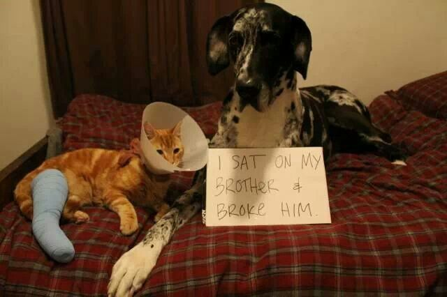 naughty great dane and cat