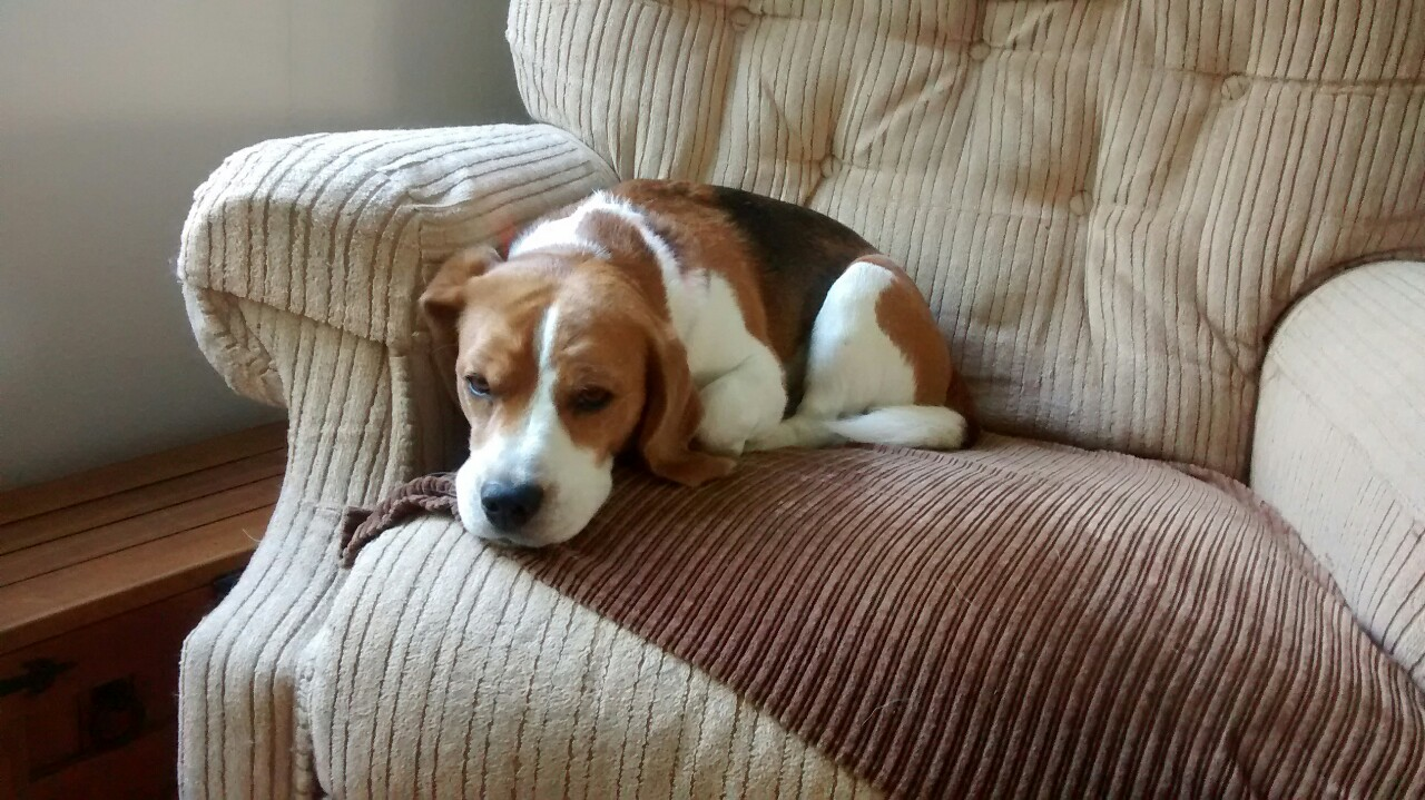 nice beagle photo