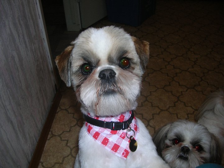 12 Adorable Shih Tzus Who Will Make Your Day Better