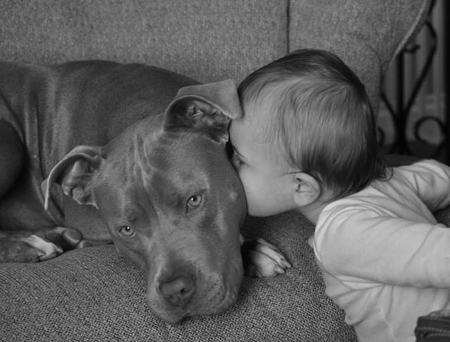 pitbull protect kid