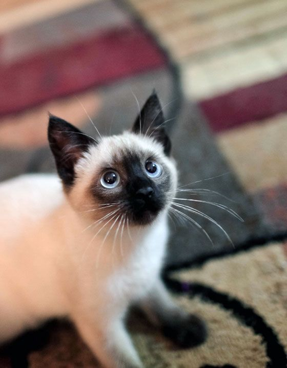 10 Best Siamese Cat Names