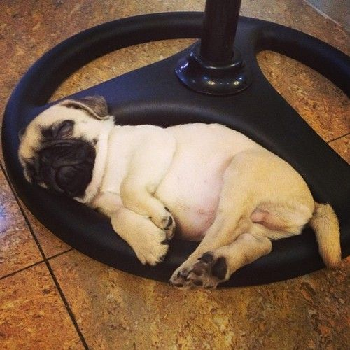 pug cute sleeping position