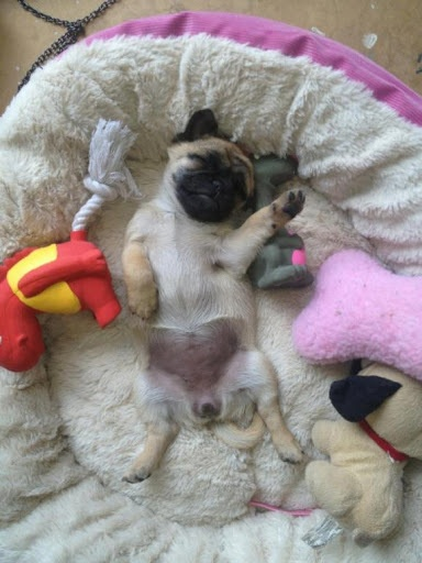 pug dog sleeping position