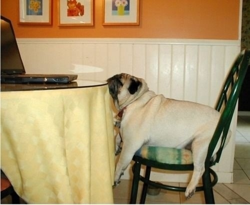 pug sleeps on table