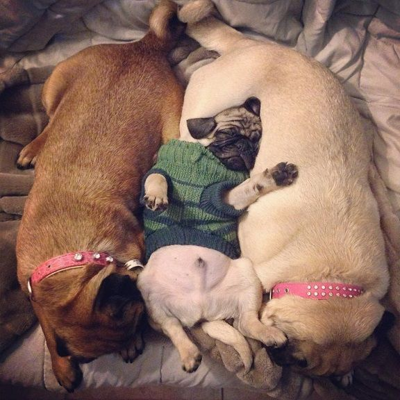 pugs sleeping position