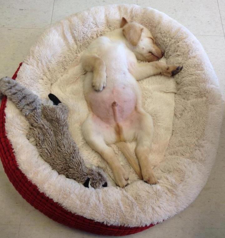 puppy of labrador sleep