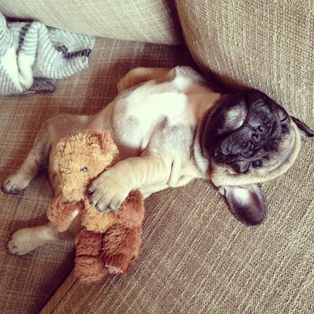 puppy pug sleeping position