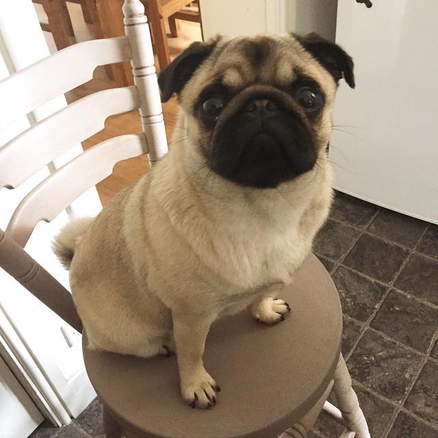 sad pug dog sitting