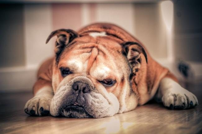 sleep bulldog