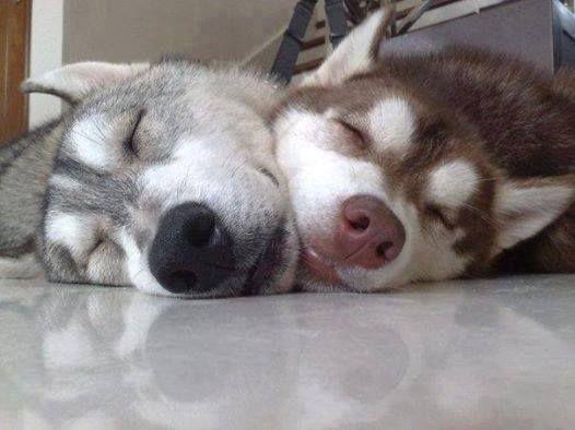 two huskies sleeping cute