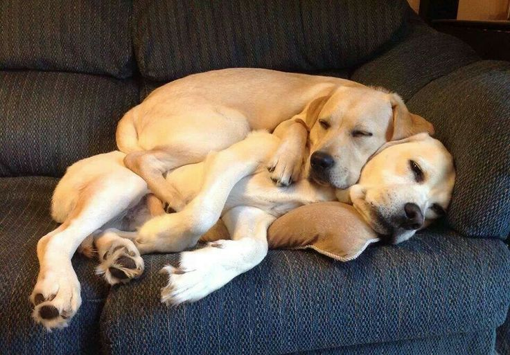two labradors nap time