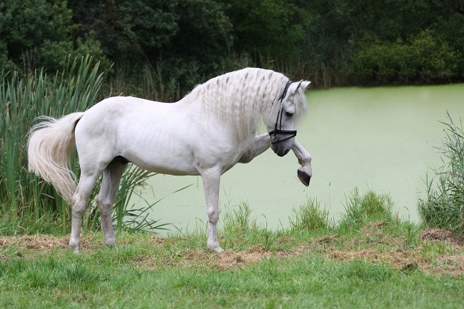 Andalusian Horse white