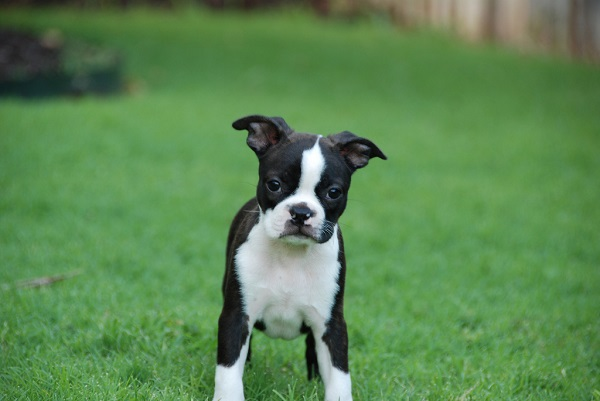 boston terrier dog names 84 most popular boston terrier dog names 8963