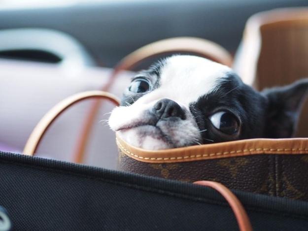 Boston Terrier cute face bag