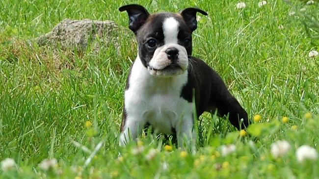 Boston Terrier green grass