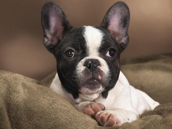 Boston Terrier pet dog photography
