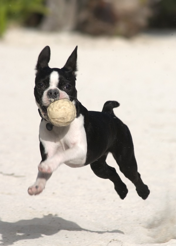boston terrier dog names 84 most popular boston terrier dog names 2512
