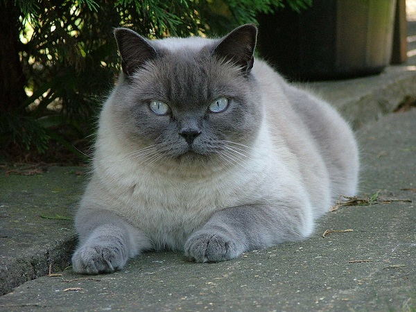 99 Most Popular British Shorthair Cat Names