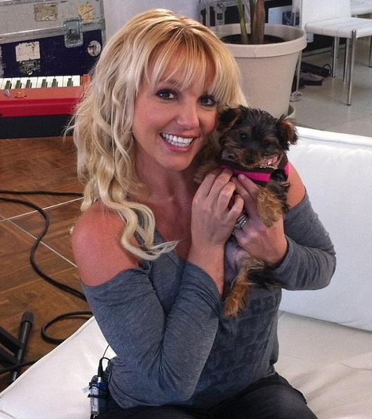 Britney Spears yorkie