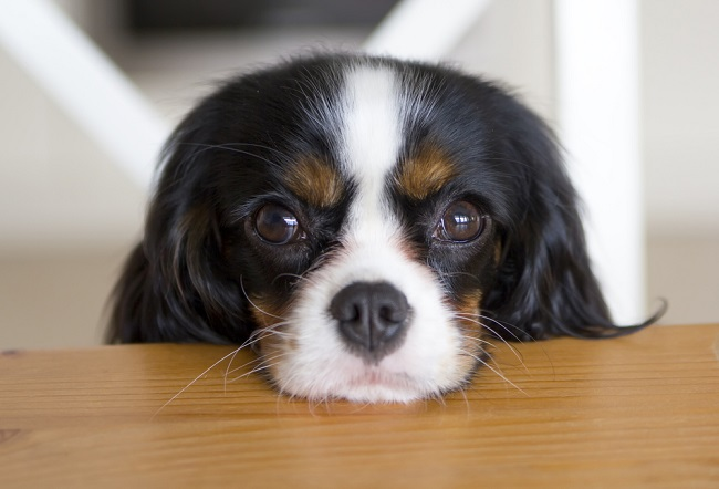 Cavalier King Charles Spaniel cute eyes