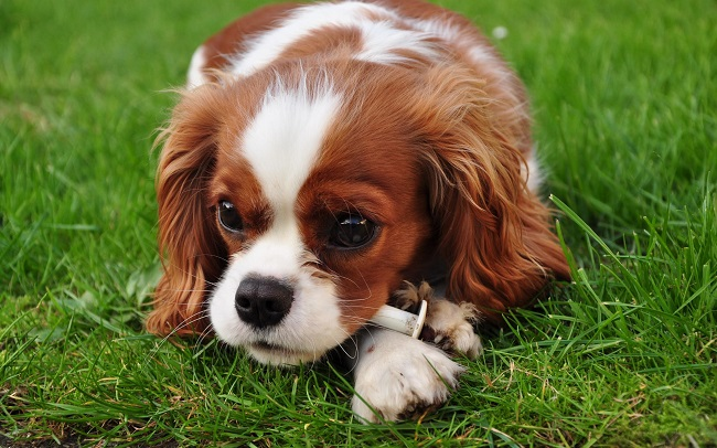 Cavalier King Charles Spaniel photo pics