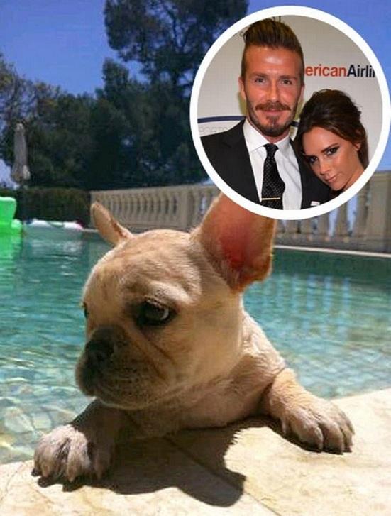 David and Victoria Beckham dog