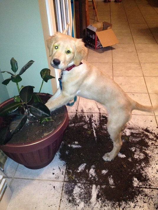 Golden Retriever puppy and plant