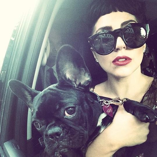 Lady-Gaga-french-bulldog-dog