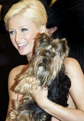 Paris Hilton yorkie