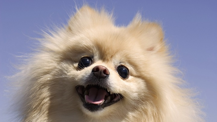 pomeranian dog names 65 most popular pomeranian dog names 7860