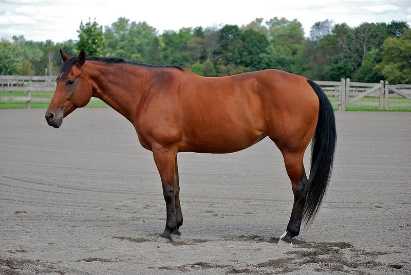 Quarter Horse photography