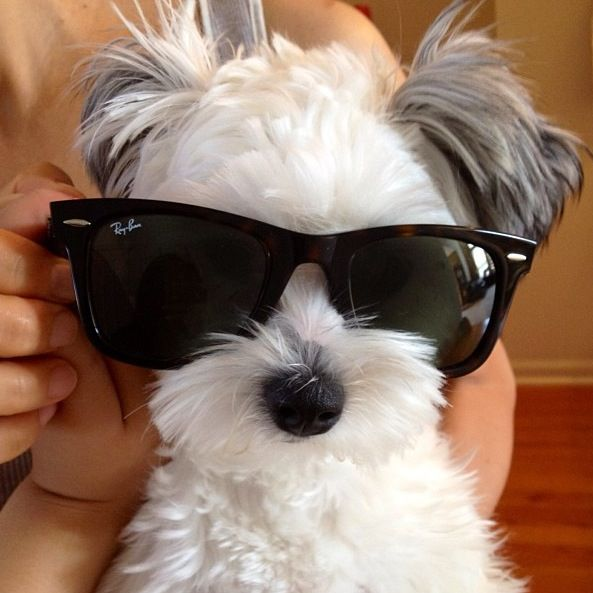 Shih Tzu glasses