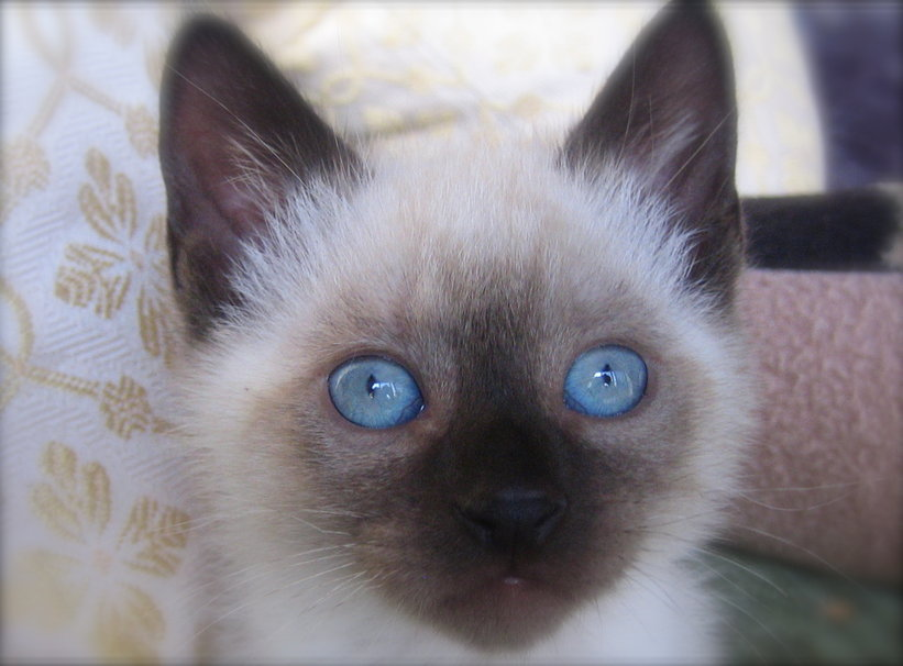 Popular Names For Russian Blue Cats