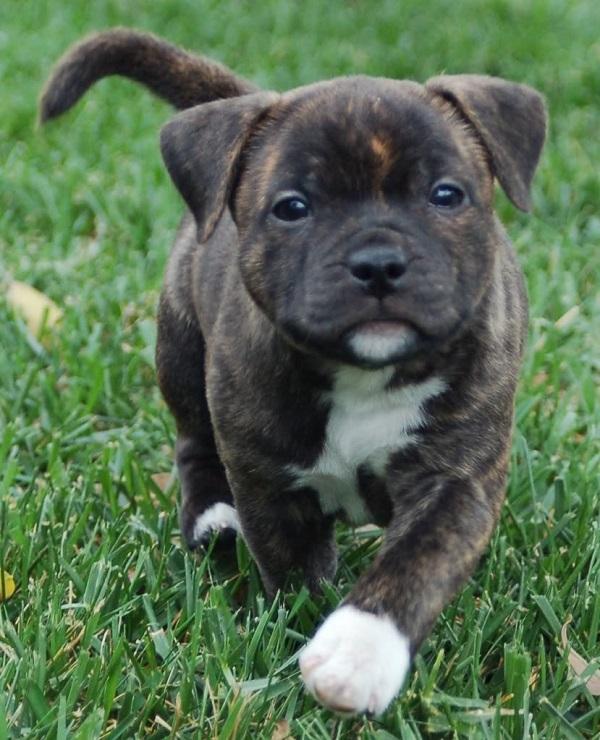 Staffordshire Bull Terrier cute puppy