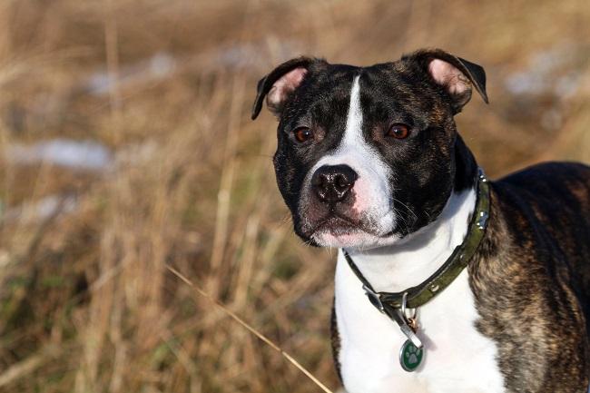 Staffordshire Bull Terrier face closeup