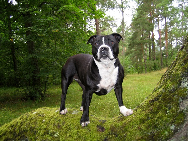 Staffordshire Bull Terrier forest